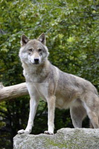 wolf-1329388_1920