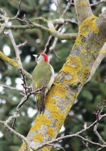 green-woodpecker-92610_1280