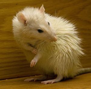 rat-451921_1920