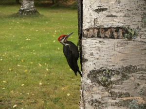 woodpecker-62139_1920