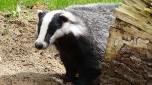 badger-44202_1920
