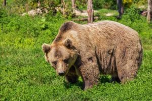 bear-422682_1920