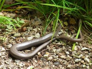 slow-worm-54913_1920