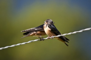 swallows-626216_1280