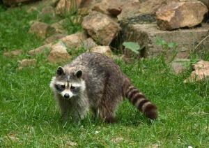 raccoon-856705_1920