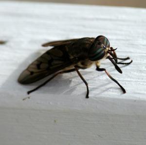 horsefly-55961