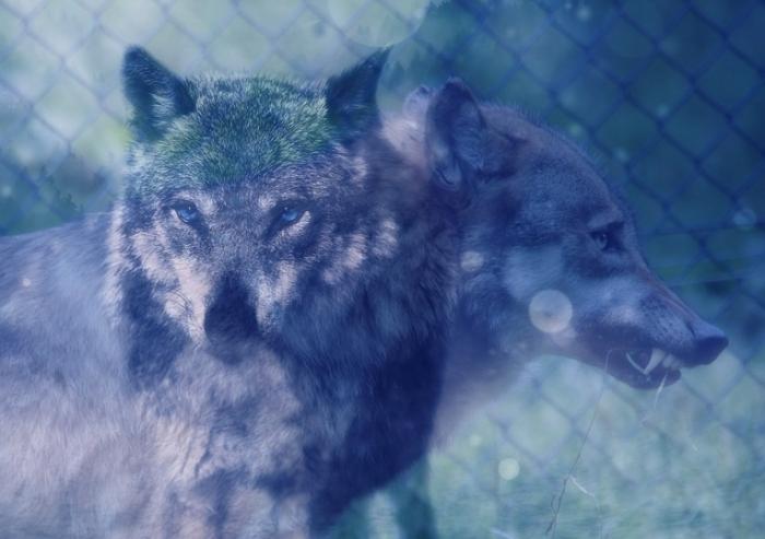 0-wolf-652360_1920